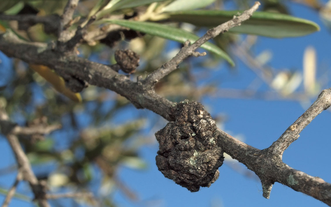 rogna-olivo.jpg