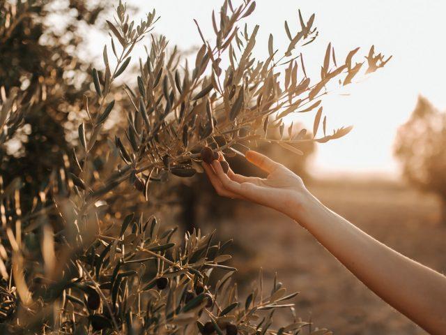 curare le piante di olivo